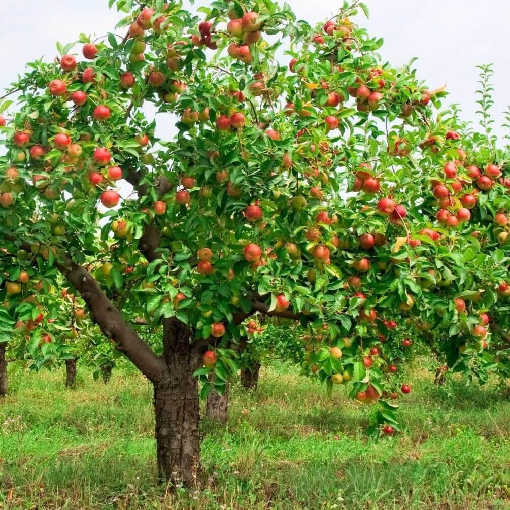 картинка фруктового сада без фруктов что головы